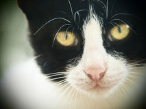 Gato novo, preto e branco, close-up 8, imagem de stock royalty free