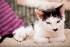 Gato novo que descansa em um sofá Fotografia de Stock Royalty Free