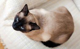 Gato novo que senta-se no sofá leve Fotografia de Stock