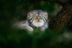 Gato o Manul, manul de Otocolobus, gato salvaje lindo del ` s de Pallas de Asia Manul ocultado en hojas verdes del árbol Escena d fotos de archivo libres de regalías