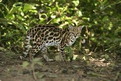 Gato o pequeño tigre, wiedii de Margay o de tigre de Leopardus Imagenes de archivo