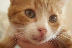 Gato observado amarillo hermoso Imagenes de archivo