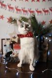 Gato observado pushstny blanco en una corbata de lazo de Borgoña con el modelo bordado en un interior del ` s del Año Nuevo Decor Foto de archivo