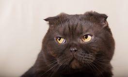 Gato ofendido del chocolate Imagen de archivo
