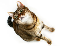 Gato olhar fixamente Foto de Stock Royalty Free