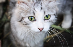 Gato-olho Imagem de Stock