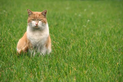Gato ordinário Fotografia de Stock Royalty Free