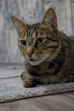 Gato ordinário Fotografia de Stock