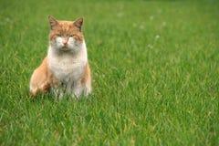 Gato ordinario Fotografía de archivo libre de regalías