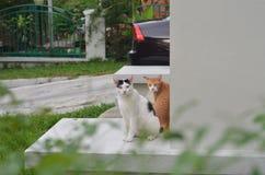 Gato ordinario Fotos de archivo libres de regalías