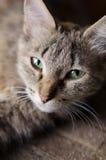 Gato ordinario que miente en el piso en el vestíbulo Fotos de archivo