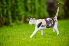 Gato oriental Imagem de Stock Royalty Free