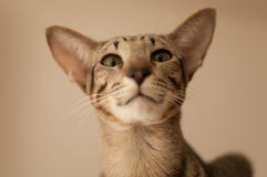 Gato oriental Imagen de archivo
