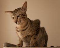 Gato oriental Foto de archivo