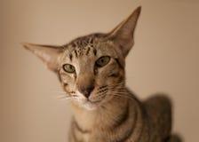 Gato oriental Imagen de archivo libre de regalías