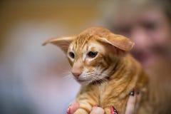 Gato oriental foto de archivo libre de regalías