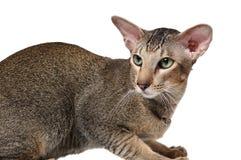 Gato oriental com olhos verdes imagem de stock