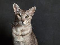 Gato oriental de Shorthaid da pedigree Imagem de Stock Royalty Free