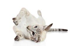 Gato oriental del blue-point Fotos de archivo libres de regalías