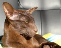 Gato oriental del marrón oscuro con los ojos verdes Imágenes de archivo libres de regalías