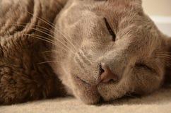 Gato oriental do Lilac Fotografia de Stock