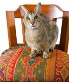 Gato oriental que se sienta en silla imagen de archivo