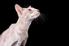 Gato oriental que senta-se no preto isolado Foto de Stock Royalty Free