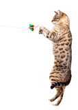 Gato de Bengal que agarra no ar Fotos de Stock
