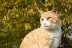 Gato oxidado da beleza que relaxa no jardim enorme (imagem tonificada cor) Imagem de Stock Royalty Free