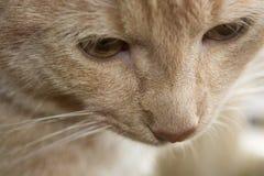Gato p1 ascendente cercano Foto de archivo libre de regalías