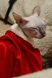 Gato Papai Noel Fotografia de Stock