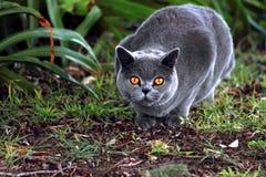 Gato pedigrí azul británico Fotos de archivo