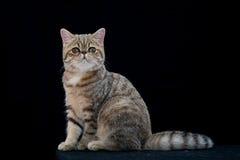Gato pedigrí del shortair exótico de oro en estudio Fotografía de archivo