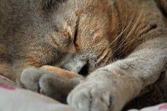 Gato pedigrí el dormir Foto de archivo