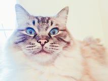 Gato pedigrí lleno de Ragdoll que mira retrato chocado y sorprendido Fotografía de archivo libre de regalías