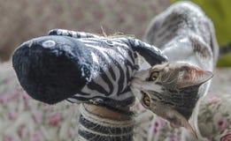 Gato peligroso Imagenes de archivo