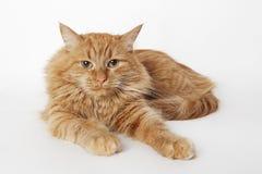 Gato pelirrojo Imagenes de archivo