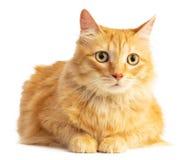 Gato pelirrojo de pelo largo que anticipa con los ojos anaranjados imagen de archivo libre de regalías