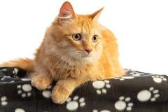 Gato pelirrojo de pelo largo que mira en el lado con los ojos anaranjados fotos de archivo