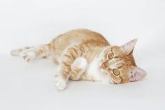 Gato pelirrojo lindo Imagenes de archivo