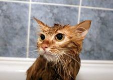 Gato pelirrojo mojado Imagen de archivo libre de regalías