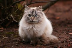 Gato peludo foto de stock royalty free