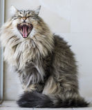 Gato peludo de Brown da raça siberian no jardim, bocejando imagem de stock