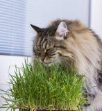 Gato peludo de Brown da raça siberian no jardim, comendo o verde de grama fotos de stock