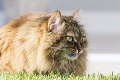 Gato peludo de Brown da raça siberian no jardim no gre da grama foto de stock