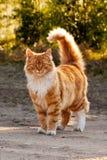 Gato peludo del jengibre Fotos de archivo