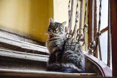 Gato peludo olhar fixamente em escadas Fotos de Stock Royalty Free