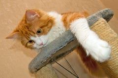 Gato peludo vermelho Fotos de Stock Royalty Free