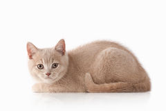 Gato Pequeño gatito británico poner crema rojo en el fondo blanco Imagen de archivo libre de regalías