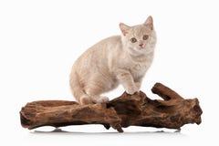 Gato Pequeño gatito británico poner crema rojo en el fondo blanco Foto de archivo